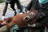 Голубоглазого седого орангутана-альбиноса вызволили из плена на Борнео