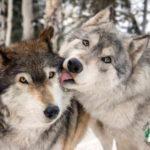 Волк подходит к девушке и садится рядом…Просто невероятно!