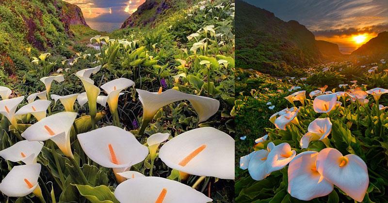 40009 Долина, где растут каллы. Невероятная красота!