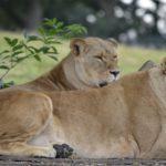 40724 Она вырастила двух осиротевших львят, а потом их пришлось отдать в зоопарк. Спустя годы они встретились снова…До слез!