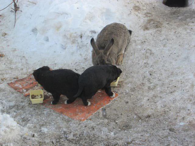 44609 Кролик усыновил трёх бездомных щенков и стал для них настоящим заботливым отцом