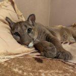 45177 Эту пуму спасли из зоопарка, теперь это большой домашний котик