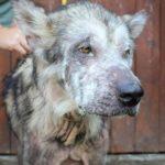 49065 Собаку конфисковали у недобросовестных хозяев. О том, что это маламут, никто не мог и подумать…