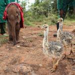 49323 История дружбы слоненка-сироты и страуса. Они каждый день обнимаются!