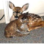 49357 Мужчина спас от лесного пожара олененка и малыша-рысь