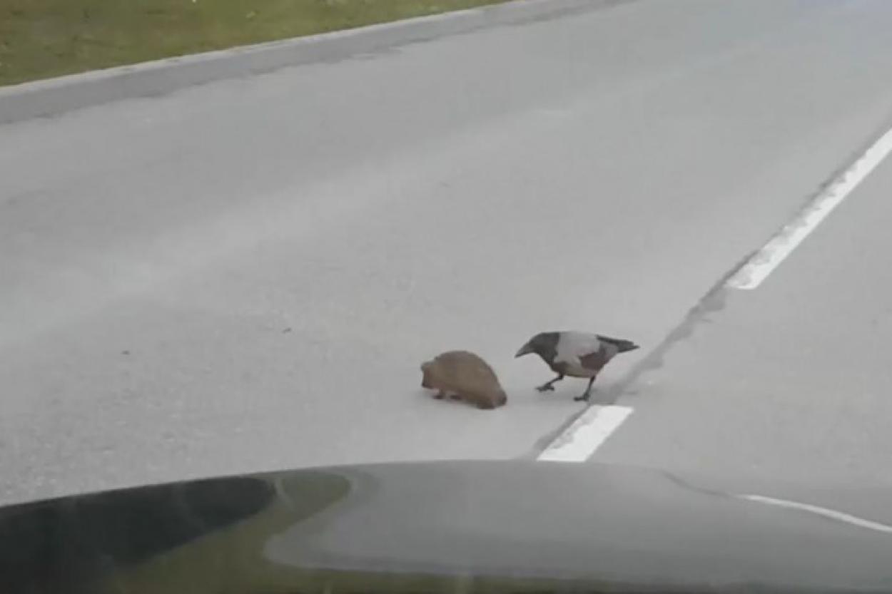 Ворона решила помочь ежу перейти дорогу. Видео, которое в Сети стало вирусным