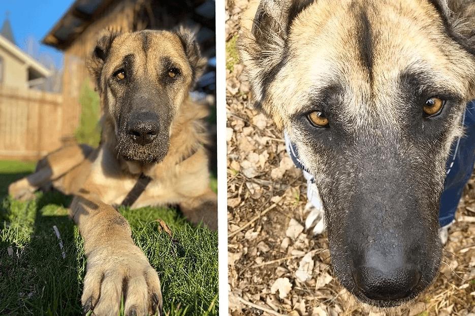 52473 Измученная постоянными родами Альмира, наконец превратилась в породитстую собаку