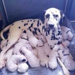 51700 Многодетная мама: 18 щенков-далматинцев появились на свет у 3-летней Нелли