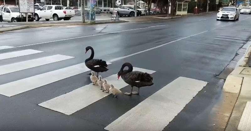 Семья лебедей-пешеходов прославилась на всю Сеть