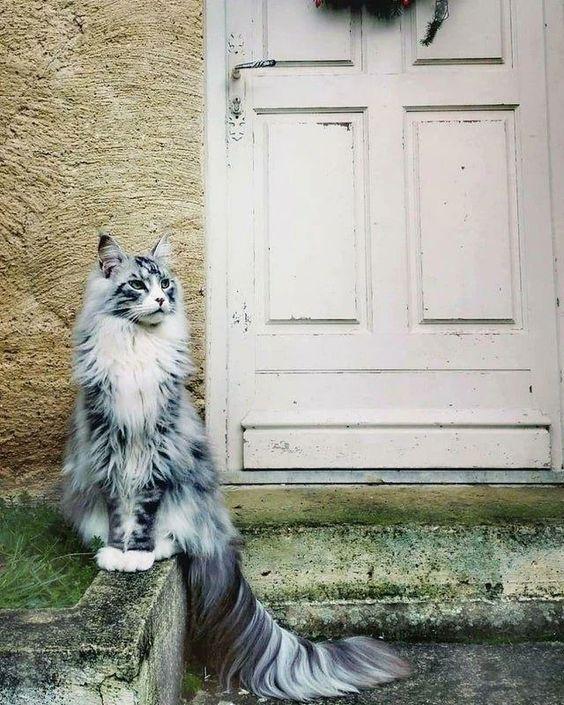 56421 Несколько мейн-кунов, по сравнению с которыми остальные кошки — настоящие карлики