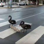 54296 Семья лебедей-пешеходов прославилась на всю Сеть