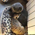 53764 Сурикат, которого забрали из контактного зоопарка теперь живет в доме и дружит с котом