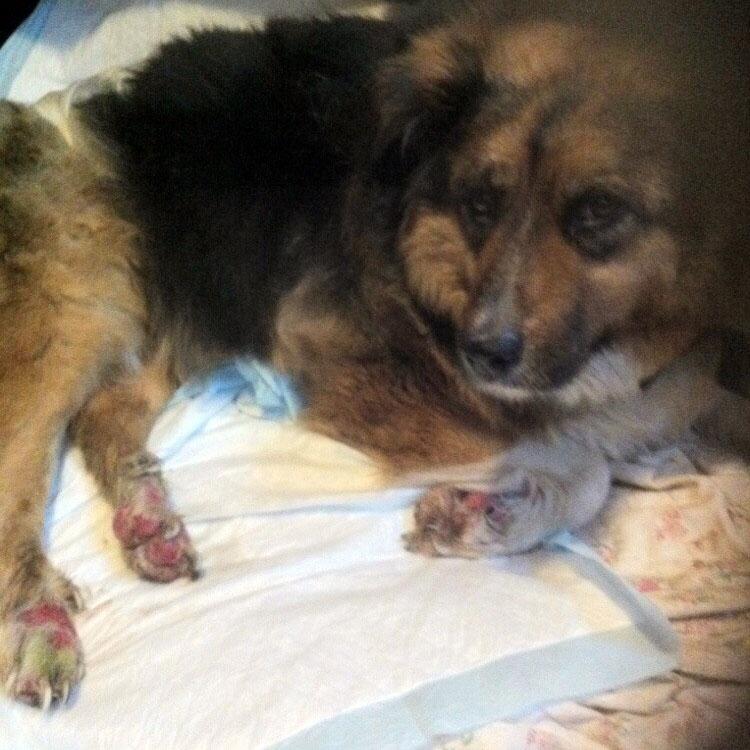 Бездомная собака получила жуткие ожоги, спасая из огня 8 человек