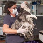 54461 Ветеринары состригли килограмм шерсти из этого животного. Оказалось это очень милая кошечка