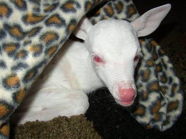 Животные-альбиносы, которые поразят вас своей необыкновенной красотой