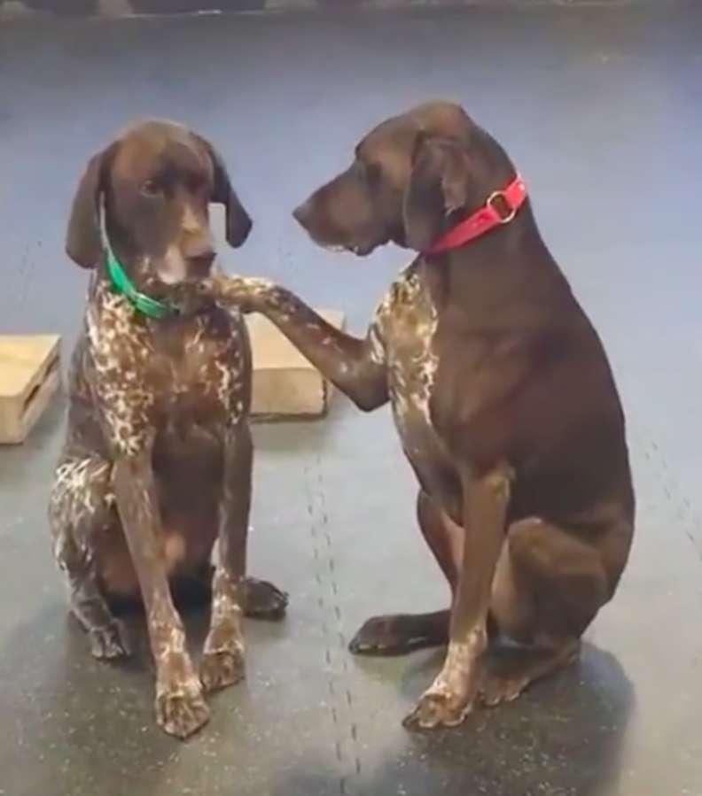 Немецкая легавая по кличке Руби, гладит всех собак, которых встречает