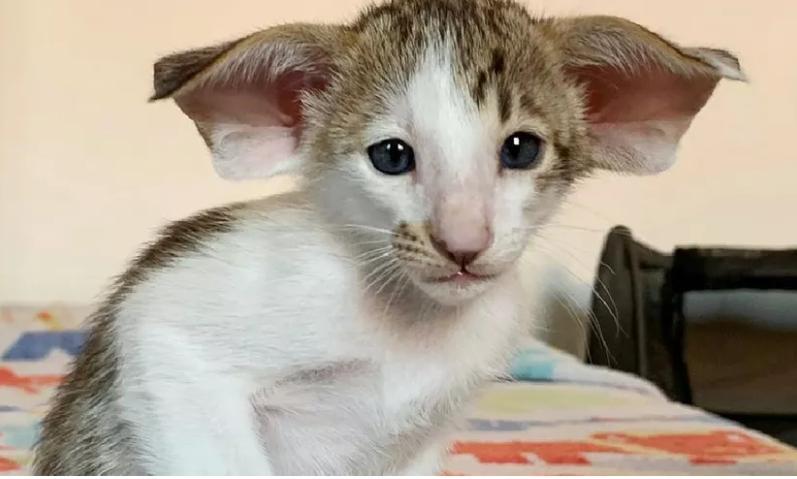 Котенка, одновременно похожего на вампира и бэтмена не хотят забирать из приюта
