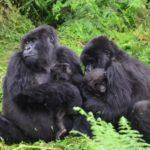 62443 Чтобы молодая мать смогла передохнуть, юная горилла решила понянчить ее ребенка