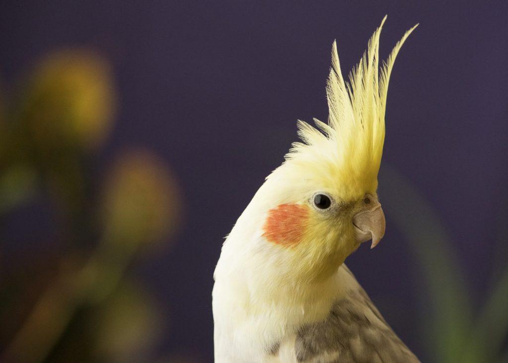 60559 Как научить волнистого попугая говорить быстро и правильно