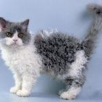 59115 Удивительные кудрявые коты очаровали всех пользователей Сети