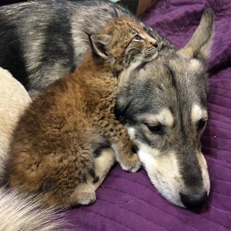 Двух рысей со звероводческой фермы, спасла девушка из России