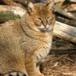 67011 Дикий камышовый кот, настолько эмоционален, что ему позавидует любой актер