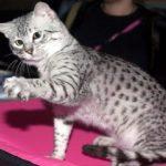 66982 Кошки породы египетская мау — красивые, грациозные, непоседливые и очень хитрые