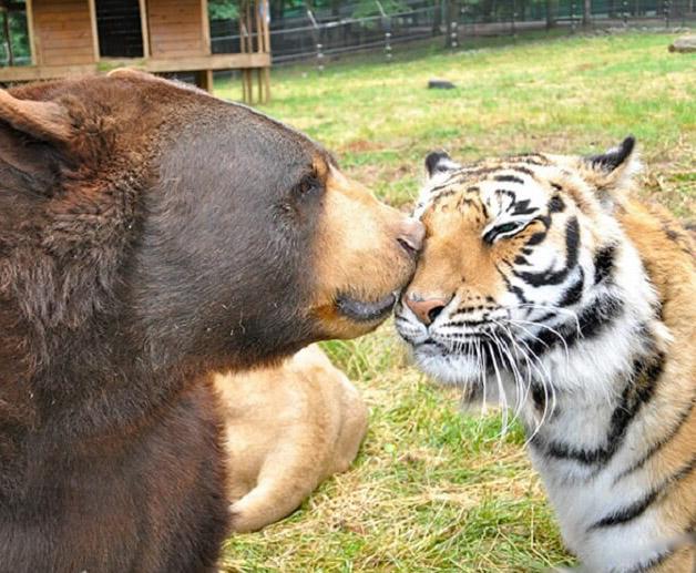 Необычная дружба: медведь, лев и тигр неразлучны уже более 15 лет!