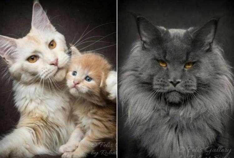 70127 Магическая красота мейнкунов, самых крупных кошек