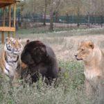 71396 Необычная дружба: медведь, лев и тигр неразлучны уже более 15 лет!