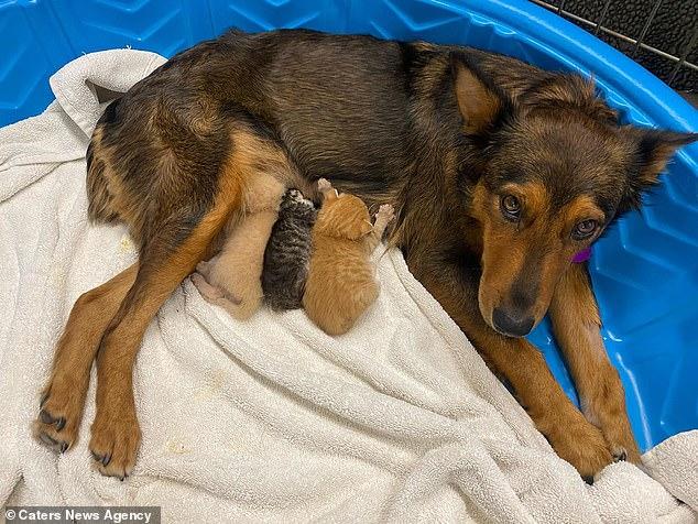 68561 Осиротевшим котятам стала приемной мамой собака по кличке Джорджия