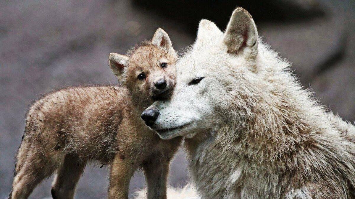 Однажды мужчина спас волчицу и ее волчат, а через пять лет была трогательная встреча