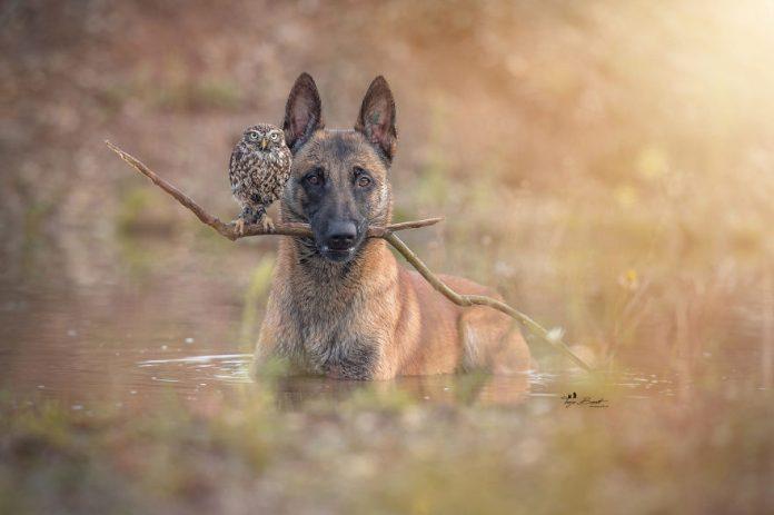 70969 Удивительный животный мир: больше 30 фотографий пса и его верной подруги совы