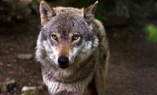 78310 Лесник пожалел волчицу, которая пришла просить еду. Через время к нему пришли три волка