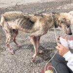 87490 Волонтеры выходили пса породы хаски, который 2 года сидел на цепи. Посмотрите в какого красавца он превратился!