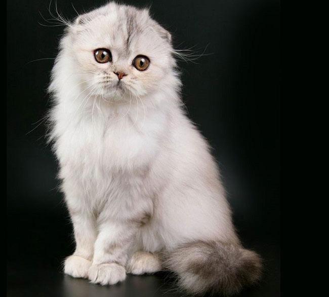 92588 Котята породы хайленд-фолд, что может быть милее? Очаруйтесь вместе с нами