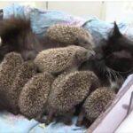 94206 Добрая мамочка: кошка Муся усыновила восьмерых ежат-сирот