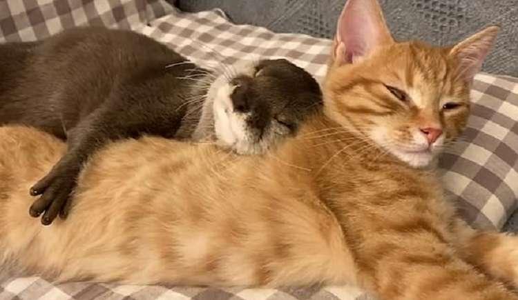 94352 Трогательное видео: выдра и кошка сладко спят в обнимку.