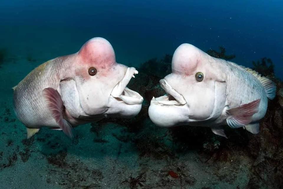 Самая уродливая рыба в мире