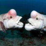 99011 Самая уродливая рыба в мире