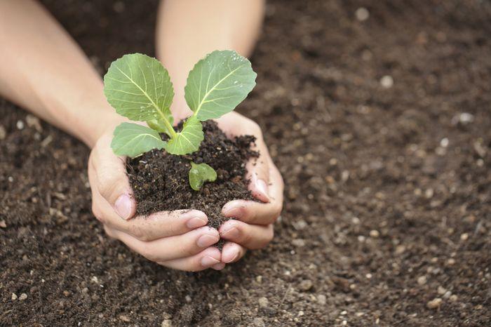 Выращивание капустной рассады с пикировкой