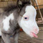 101384 Самая маленькая лошадка в мире, которая возомнила себя бульдожкой